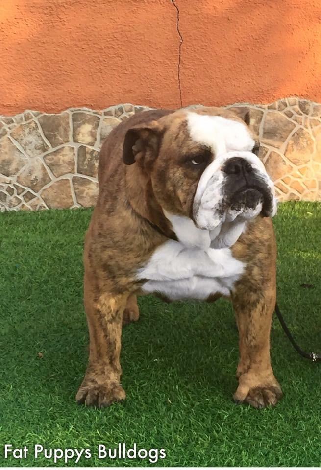 Best Bulldogirona E-Nata