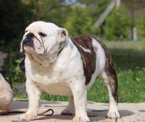 Fat Puppys Sasha (2)